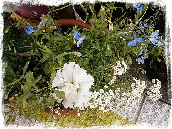 Petunia, hänglobelia och strandkrassing