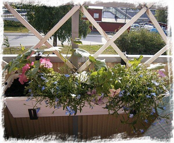 Petunior, hänglobelior och rosenbönor