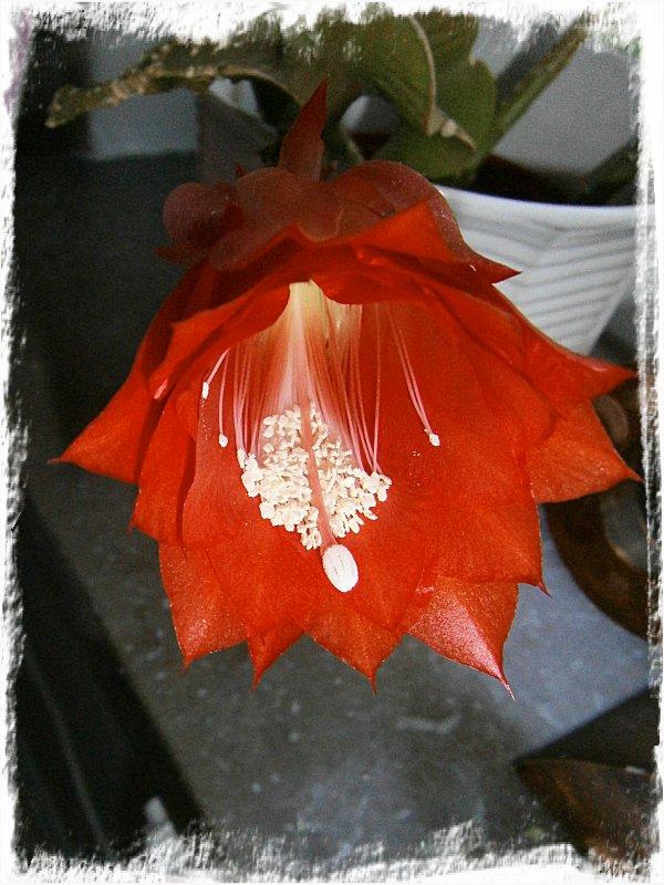 Kaktusknopp