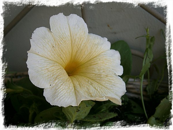 Gul petunia