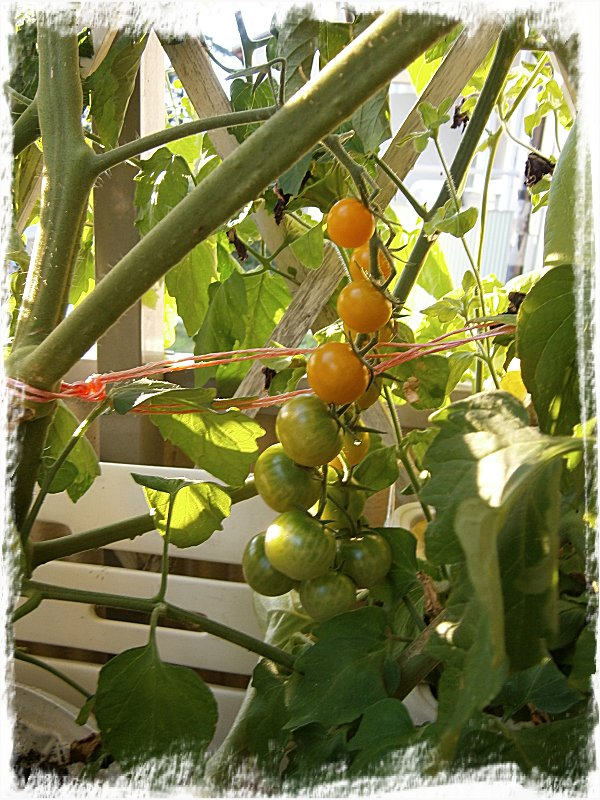 Sun Gold tomater