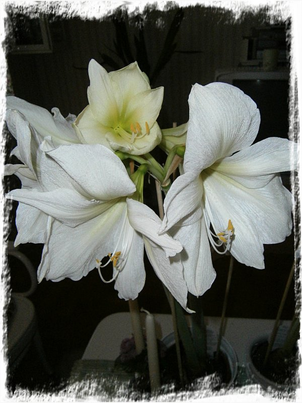 Amaryllis - Lemon Star