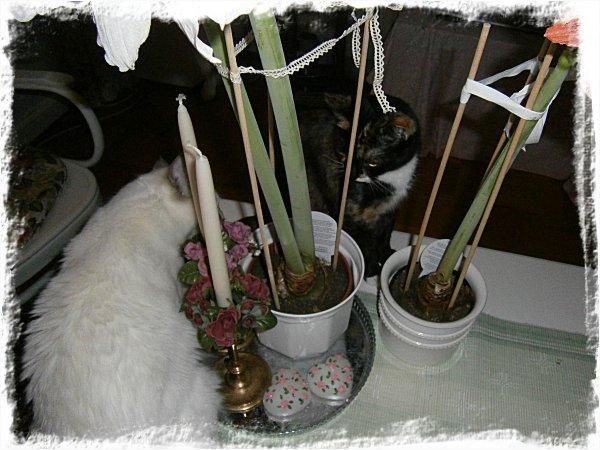 Katter - Måns & Smulan