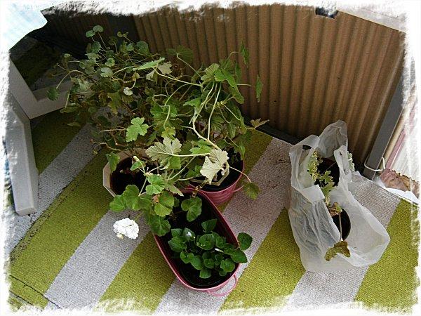 Pelargonerna vänjer sig vid livet utomhus