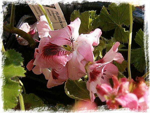 En blommande pelargonstickling MÅSTE man ju köpa