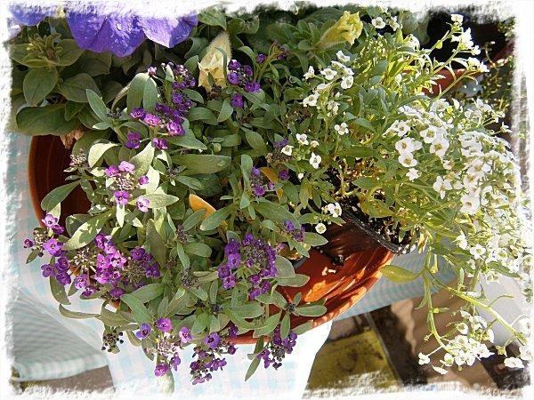 Honungsdoftande strandkrassing i lila och vitt