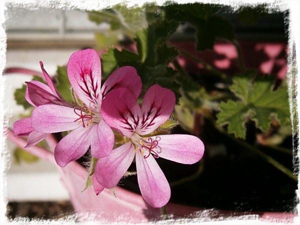 Blommande doftpelargon