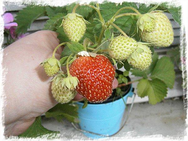 Årets första jordgubbe