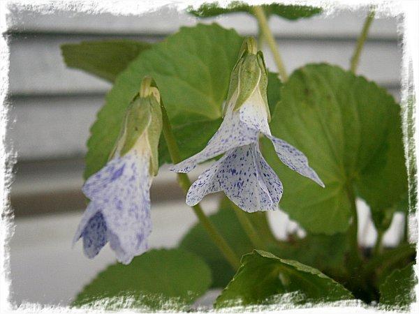 Viola odorata Freckles
