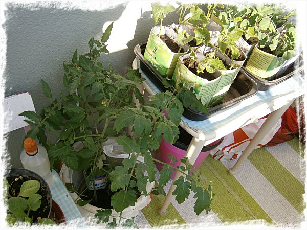 Mina tomatplantor