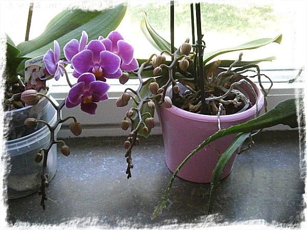 Blommande orkidé