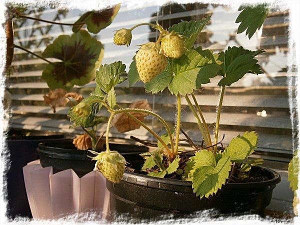 Omogna jordgubbar
