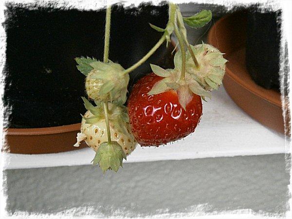 Egenodlad jordgubbe