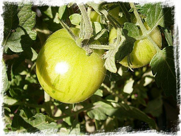 Tigerella-tomat
