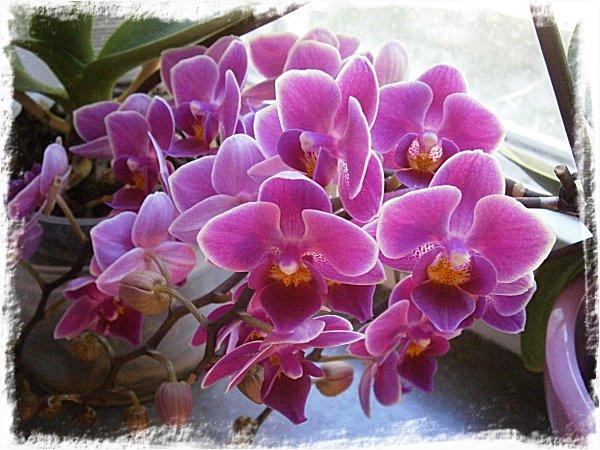 Min småblommiga orkidé