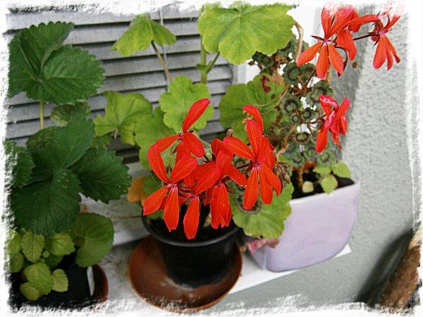 Blommande pelargon