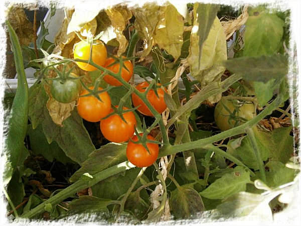 Fortfarande finns det tomater kvar