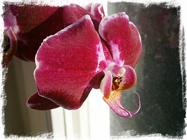 Min storblommiga orkidé
