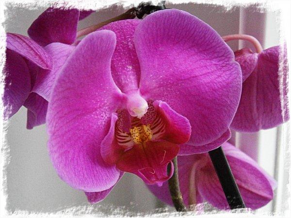 Min nya lila orkidé