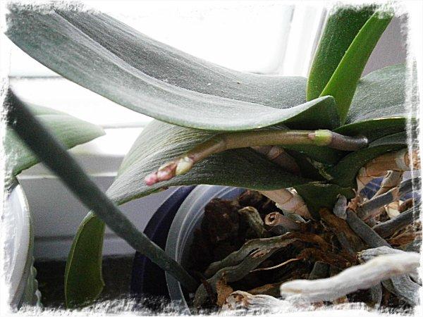 Knopp på gång i en av dom gamla plantorna