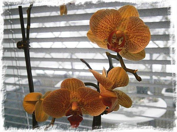 Gulgrön, rosamönstrad orkidé