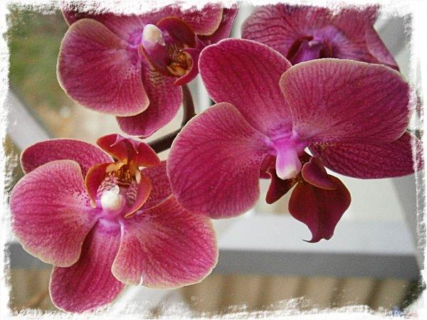 Min 20-kronors-orkidé