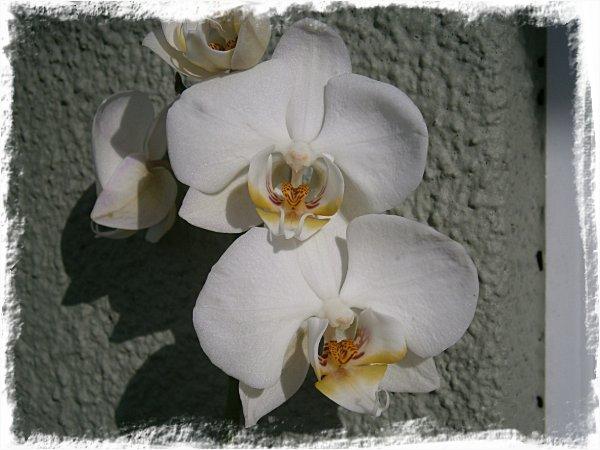 Veckans orkidé