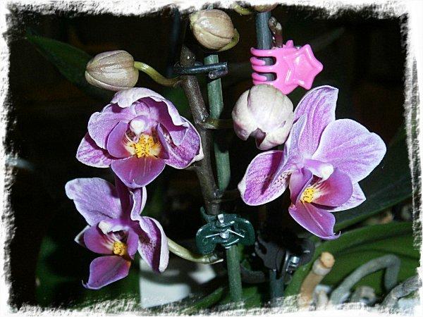 Småblommig orkidé på väg att slå ut!